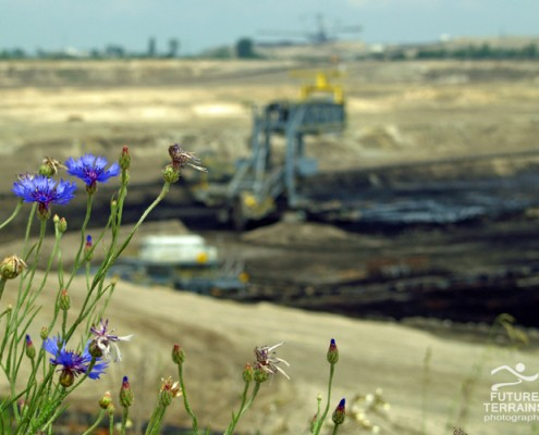 Cornflower on lignite strip mine, Poland
