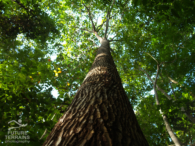 25-year-old Brazil nut tree, restored after bauxite mining at Trombetas, Amazon, Brazil